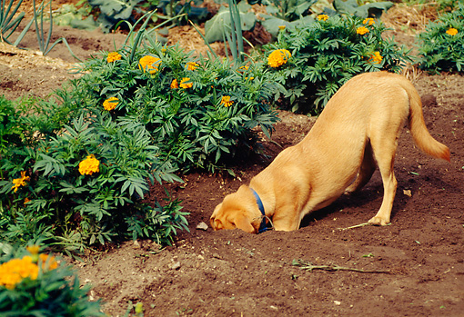 how to prevent your dog from digging up your garden akc dog lovers