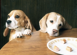 beagles eating