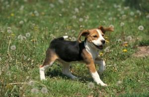 beagle06