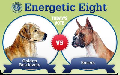 The Energetic 8: Golden Retrievers vs. Boxers