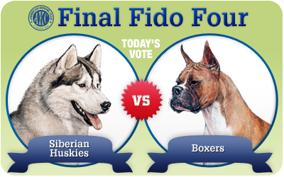 The Final Fido 4: Siberian Husky vs. Boxer