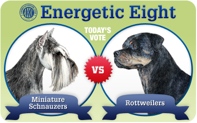 The Energetic 8: Miniature Schnauzer vs. Rottweiler