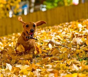 Dogs-in-Leaves-7