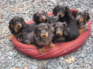Longhair Dachshunds Courtesy AKC