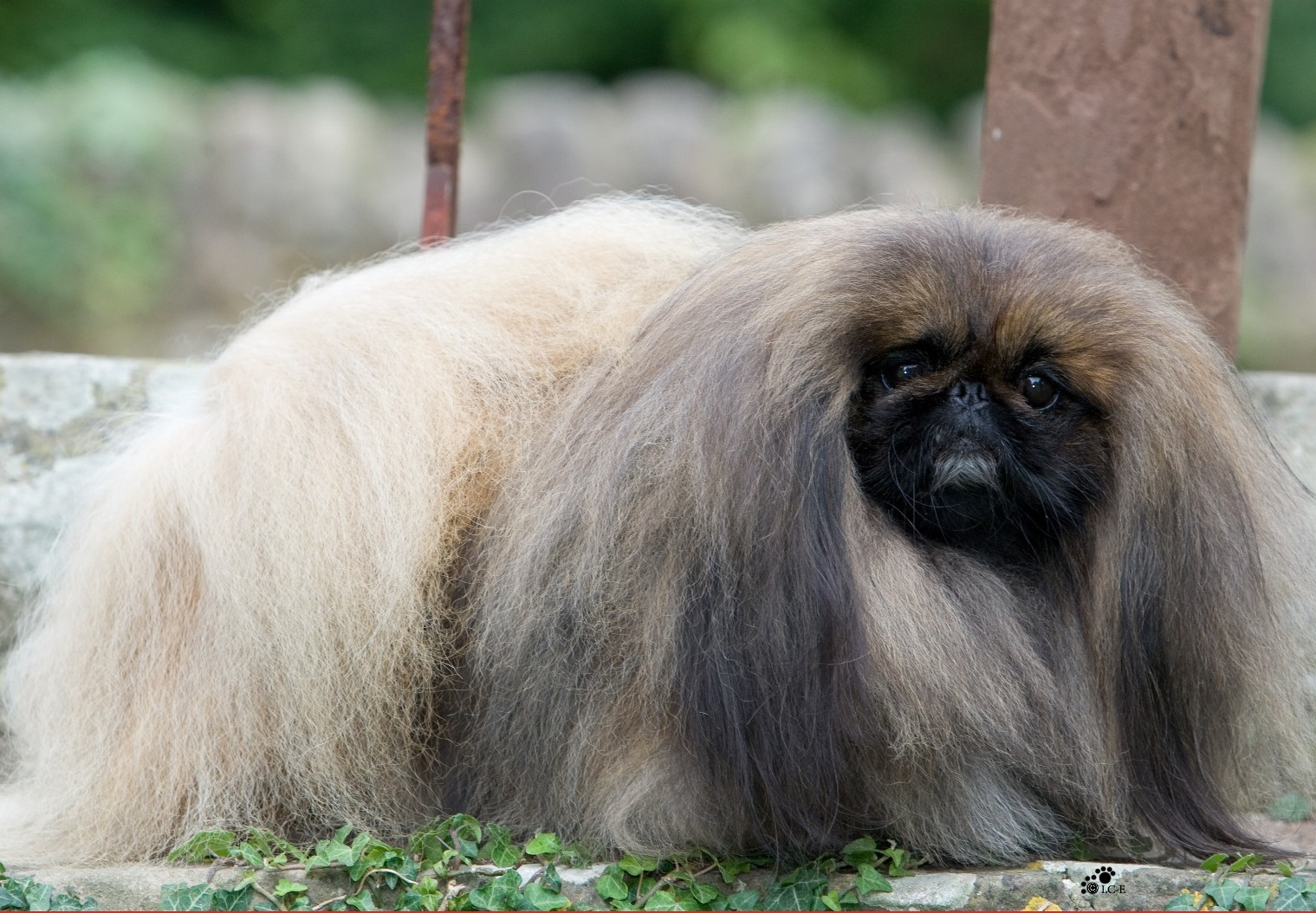 Pictures of pekingese adult dogs