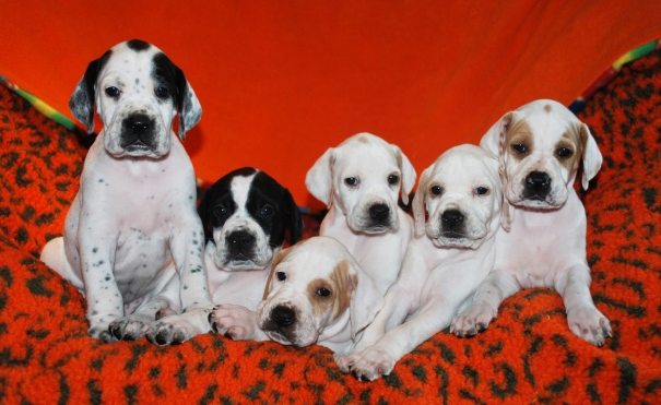 Pointer pups -top