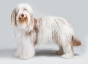 Bearded Collie stacked2