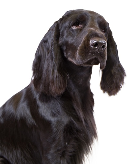 FieldSpaniel2_head WebDAM