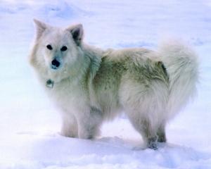 Finn Lapp - Blonde dog- WebDAM
