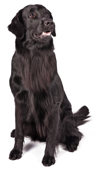 FlatCoatedRetriever5_sit crop